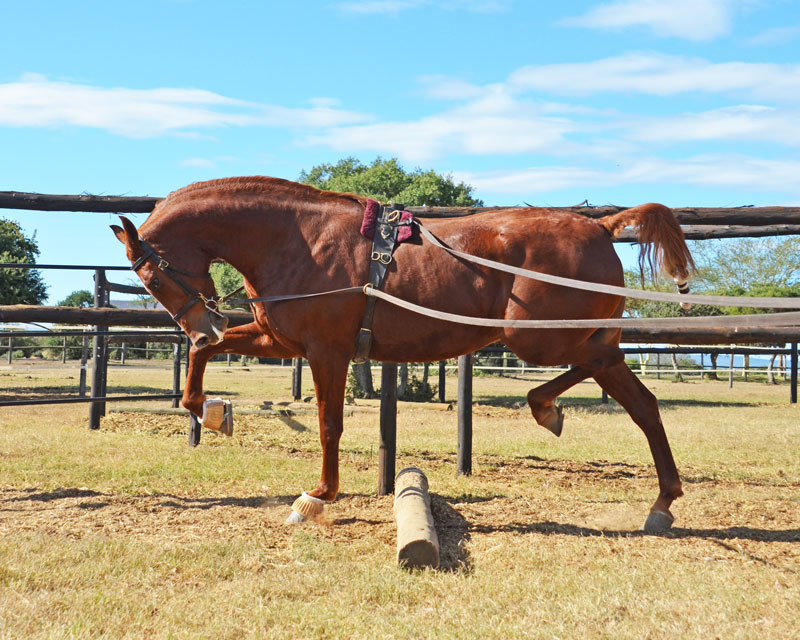 Correct frame in trotting poles and engaging hindquarters